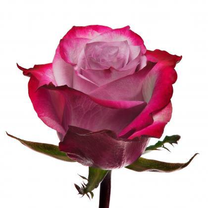 Rose Deep Purple