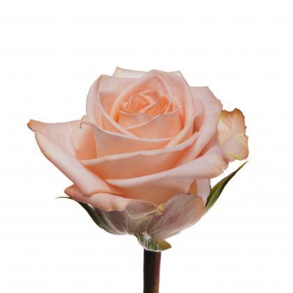 Rose Tiffany