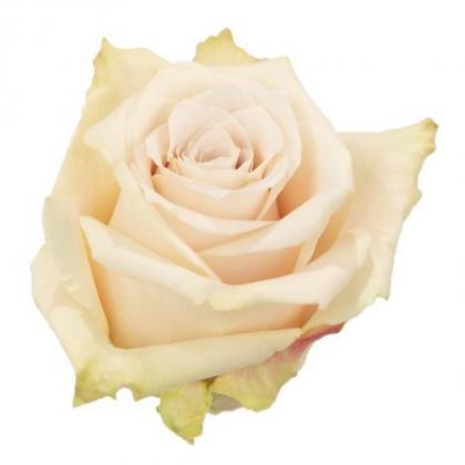 Rose Sandy