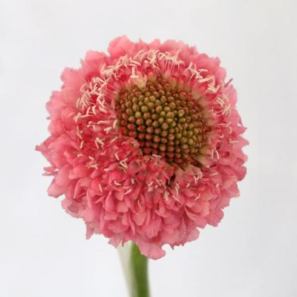 Scabiosa Focal Scoop Candy