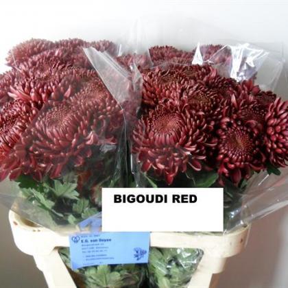 Chrysanthemum Disbud Bigoudi Red