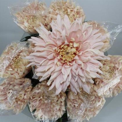 Chrysanthemum Disbud Avignon