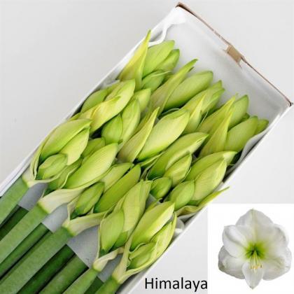 Amaryllis Himalaya