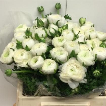 Ranunculus Elegance White