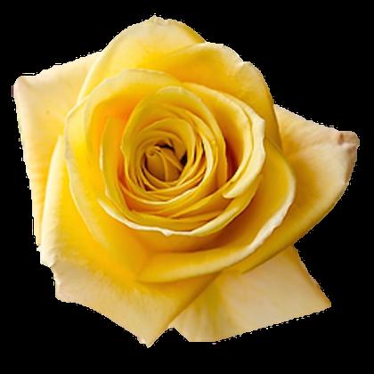 Rose High & Yellow