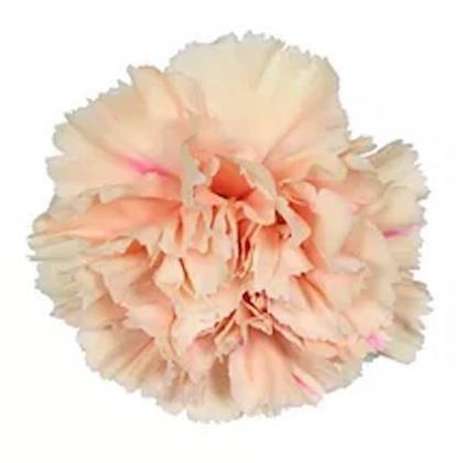 Carnation Apple Tea