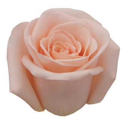 Rose Alejandra