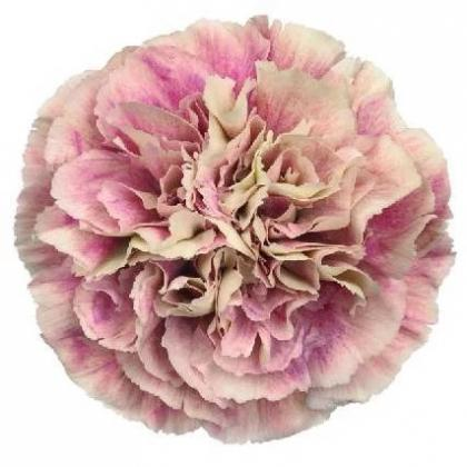Carnation Antigua
