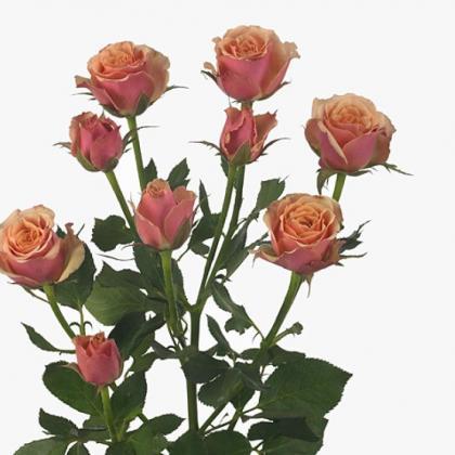 Spray Rose Antiqua
