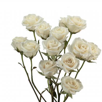 Spray Rose White Majolica