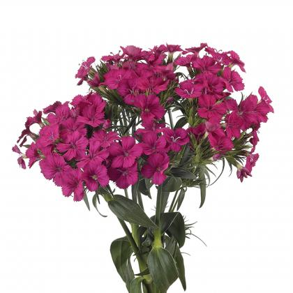 Dianthus Amazon Cherry