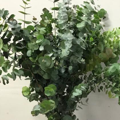Eucalyptus Cinerea