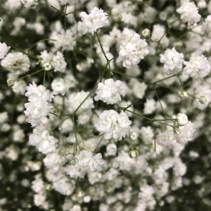 Gypsophila Large Bloom