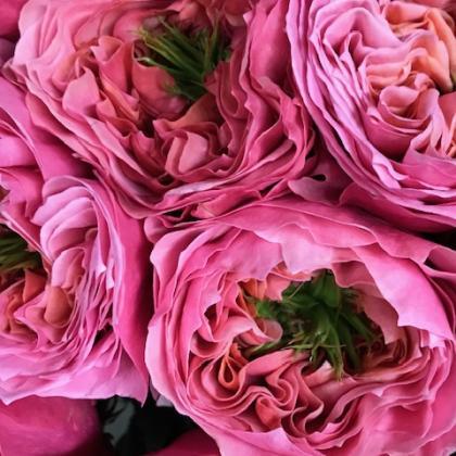 Garden Rose Regents Park