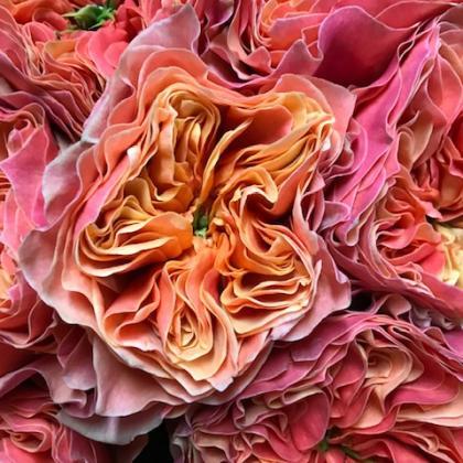 Garden Rose Kensington Gardens
