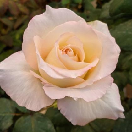 Rose Delicious