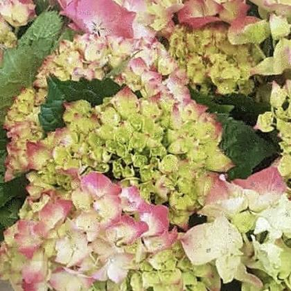 Hydrangea Green/Pink