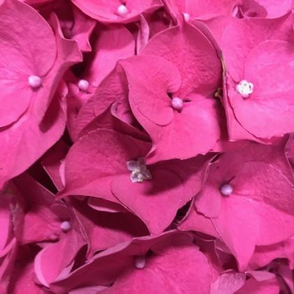 Hydrangea Hot Pink