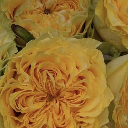 Rose Buzzy Yellow