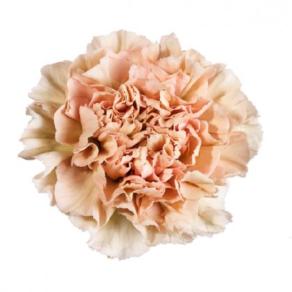 Carnation Lege Marrone
