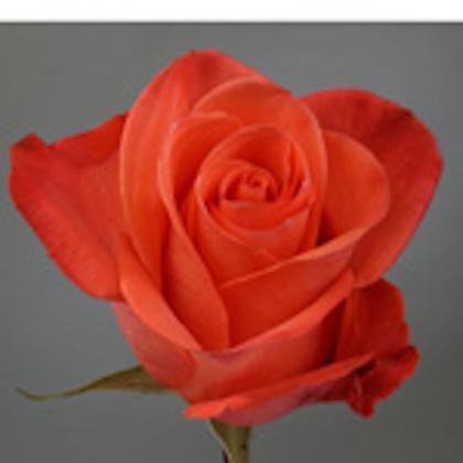 Rose Naranja
