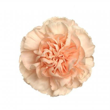 Carnation Novia