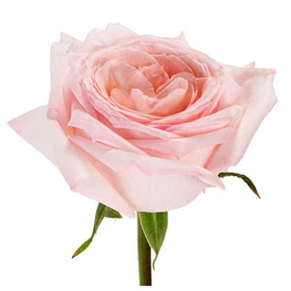 Rose Pink O'Hara
