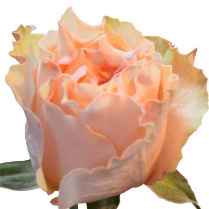 Rose Campanella Peach