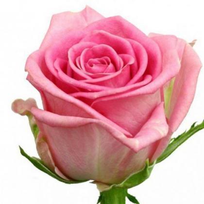 Rose Revival