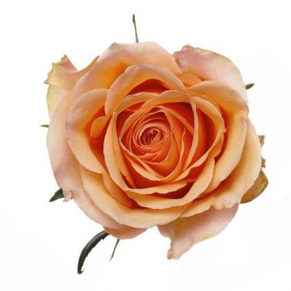 Rose Sunmaster