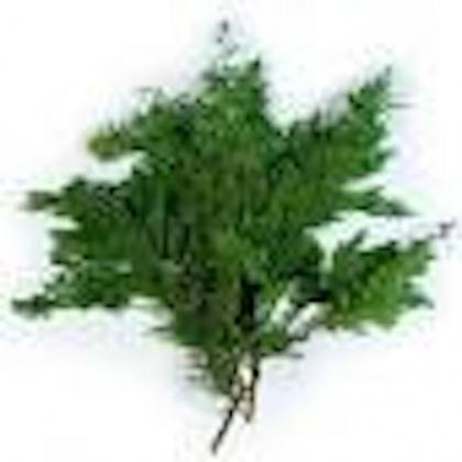 Alpine Cedar