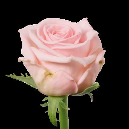 Rose Aqua Bella