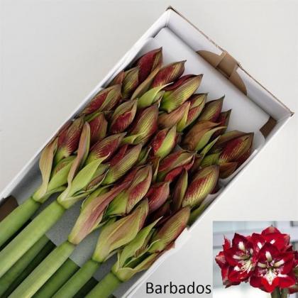 Amaryllis Barbados