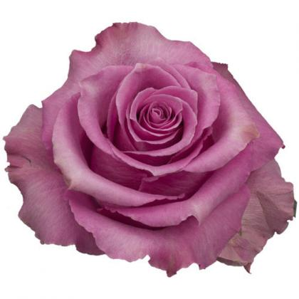Rose Breathless