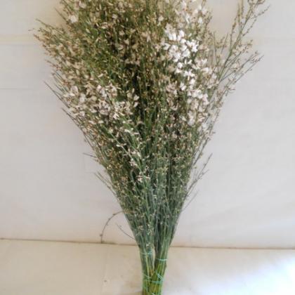 Ginestra white