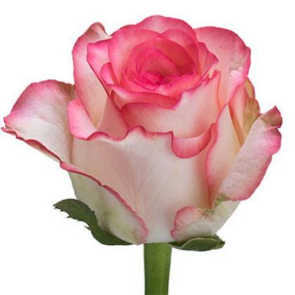 Rose Jumelia