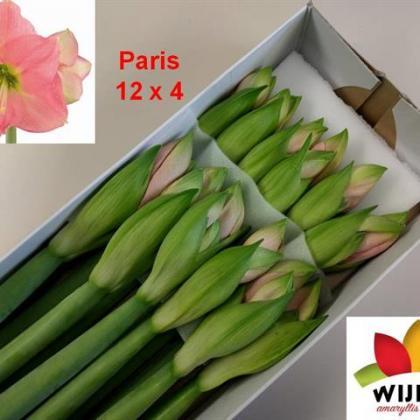 Amaryllis Paris