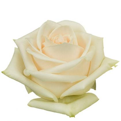 Rose Soul
